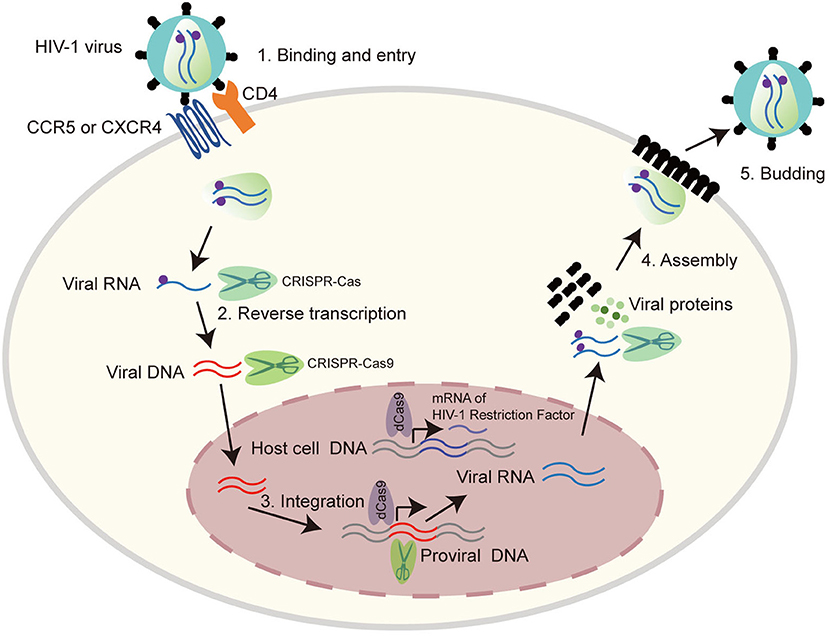 CRISPR/CAS9  HIV mechanism